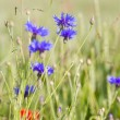 Stock Photo: Cornflowers.