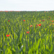 Foto Stock: Poppies in wheat.
