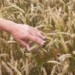 Wheat and hand. — Stock Photo