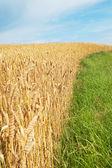 Trigo y la hierba. — Foto de Stock