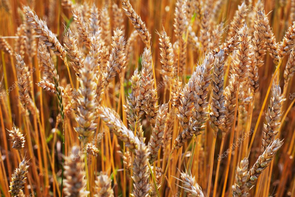 Wheat spikes in sun light. — Stock Photo #11923521