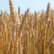Wheat spikes. — Stock Photo