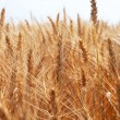 Barley. — Stock Photo