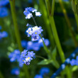 Stock Photo: Forget-me-not flowers
