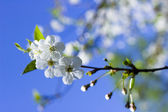 Cherry tree blossom — Stock Photo