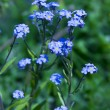 Forget-me-not flowers — Stock Photo #11986427