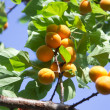 Apricot tree branch — Stock Photo #11986465