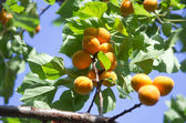 Apricot tree branch — Stock Photo