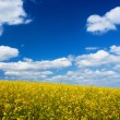 The field of yellow flowers — Stock Photo