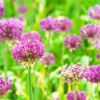 Allium — Stock Photo