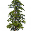 Fir tree isolated on white background — Stock Photo #11827639