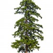 Fir tree isolated on white background — Stock Photo