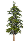 Fir tree isolated on white background — Stockfoto