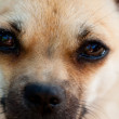 Sadness dog face close up — Stock Photo