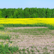 Canola field after flood. — Stock Photo