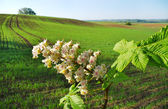 Chestnut flower and land. — Stock Photo