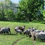 Flock of sheep. — Stock Photo