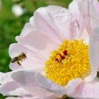 Stock Photo: Bee in garden.