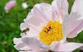Bee in the garden. — Stock Photo