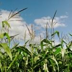 Land of growing corn. — Stock Photo