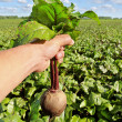Field of the beetroot. - Stock Photo
