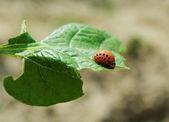 Larva av colorado skalbagge. — Stockfoto