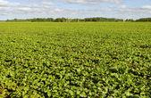 Field of beet. — Stock Photo