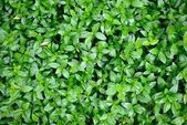 Beautiful green background of leaves — Stock Photo