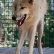 Stock Photo: One arctic wolf