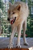 One arctic wolf — Stock Photo