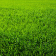 A green grass — Stock Photo