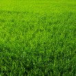A green grass — Stock Photo #10926153