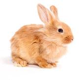 Beyaz bir arka plan üzerinde izole tavşan — Stok fotoğraf
