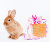 Kırmızı giftbox ile tavşan — Stok fotoğraf