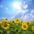 Sunflowers - Foto Stock