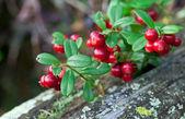 Lingonberry shrub with berries closeup — Stock Photo