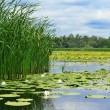Stock Photo: Cane and lilies on the lake