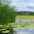 Cane and lilies on the lake - Stock Photo
