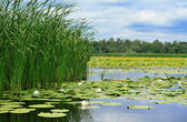 Cane and lilies on the lake — Stock Photo