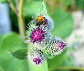 Bee on flower of the thistle — Stock Photo
