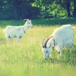 Goats grazing in the field - Stock Photo