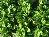 Spinat-gemüse-bett — Stockfoto