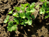 Parsley seedlings — Stock Photo