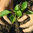 Stockfoto: Planting pepper seedlings