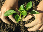Planting pepper seedlings — Stok fotoğraf