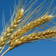 Wheat ears — Stock Photo #11896629