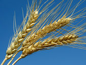 Wheat ears — Stock Photo