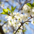 Blossoming plum in the spring - Stock Photo