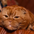 Scottish fold cat — Stock Photo #10815634