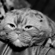 Stock Photo: Scottish fold cat